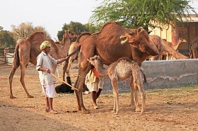 Camel Breeding Farm