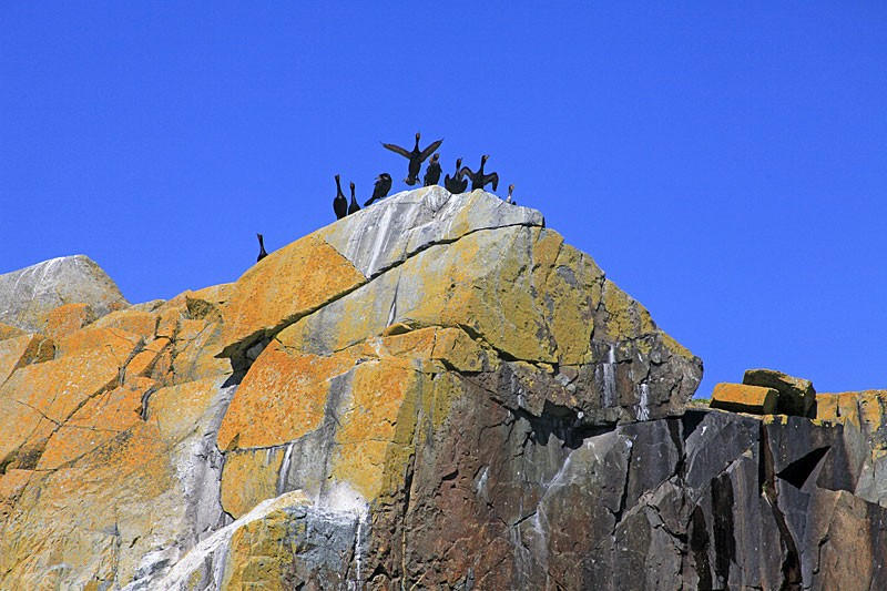 Crazy Cormorants