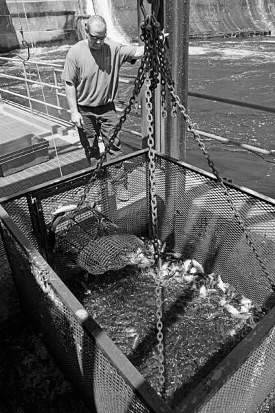 Harvesting River Herring at Dam 2
