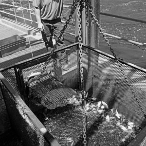 Harvesting River Herring at Dam 2