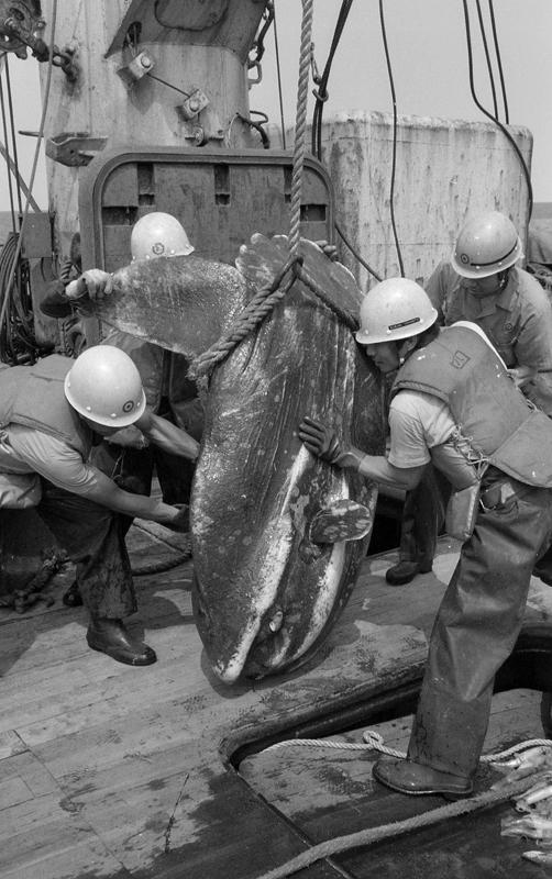 Ocean Sunfish (Mola) aboard Zao Maru