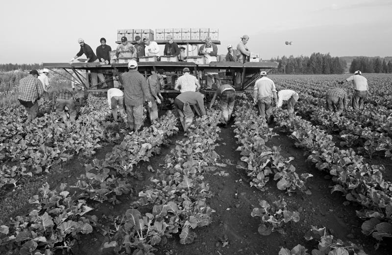 Maine Broccoli Harvest