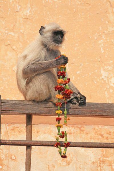 Bundi Monkey