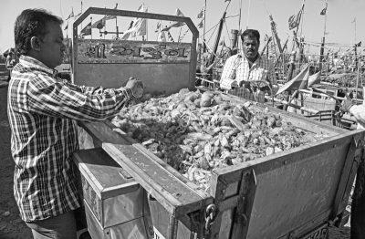 Porbander Calamari Haul