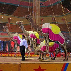 Porbander Circus Camels