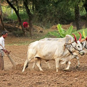 Plowing a Field in Udaipur